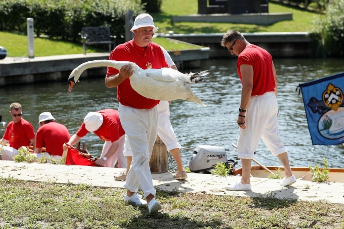 Khi hết trở thành món ăn, thiên nga trên sông Thames có riêng lễ hội cho mình - 5