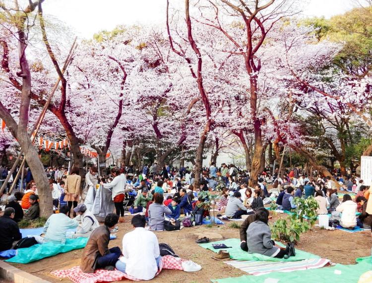 Khám phá lễ hội hoa anh đào Hanami tại Nhật Bản