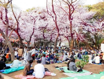 Lễ hội - Khám phá lễ hội hoa anh đào Hanami tại Nhật Bản